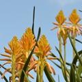 写真: Tree Aloe 10-1-17