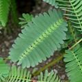 Water Mimosa III 9-3-17