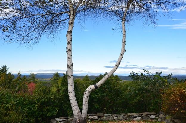 Mount Washington between two White Birches 10-16-17