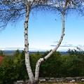 写真: Mount Washington between two White Birches 10-16-17
