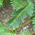Photos: Water Mimosa IV 9-3-17