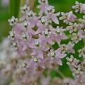 写真: Swamp Milkweed I 9-3-17