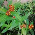 写真: Tropical Milkweed II 9-3-17