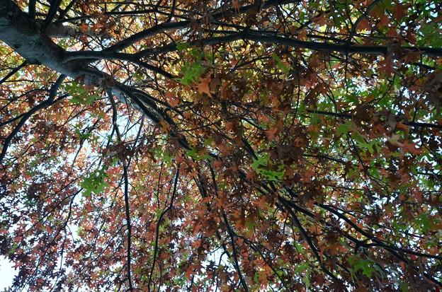 Photos: Oak Tree 10-17-17