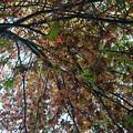 写真: Oak Tree 10-17-17