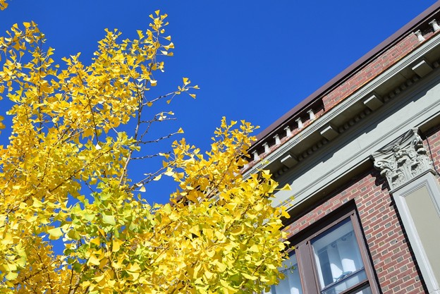 Ginkgo in Brunswick 10-18-17