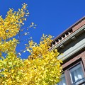 写真: Ginkgo in Brunswick 10-18-17