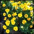 Sunny Marigolds 12-3-17