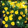Photos: Sunny Marigolds 12-3-17