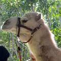 Dromedary Camel 1-6-18