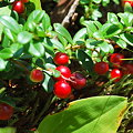 写真: Mountain Cranberries 8-15-09