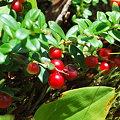 Mountain Cranberries 8-15-09