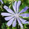 Chicory 8-8-09