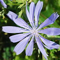 Photos: Chicory 8-8-09