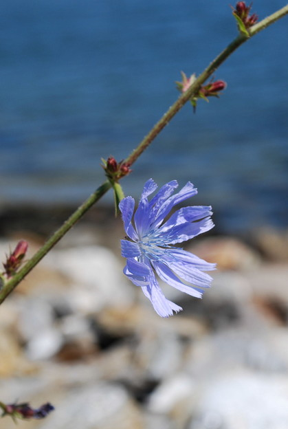 Chicory by the Sea 8-8-09