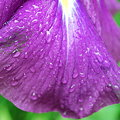 Raindrops on Japanese Iris 7-18-09