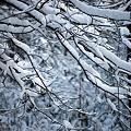 写真: Snow on the branches 12-6-09