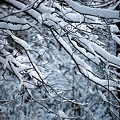 写真: Snow on the branches 12-6-09