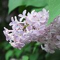 Lilac 5-30-09