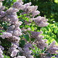 The Fence of Lilacs 5-30-09