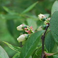 Blueberry 5-23-09