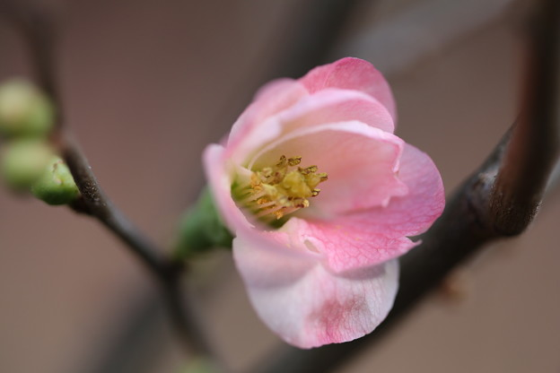 Photos: 熱海梅林 気の早い、早咲き梅