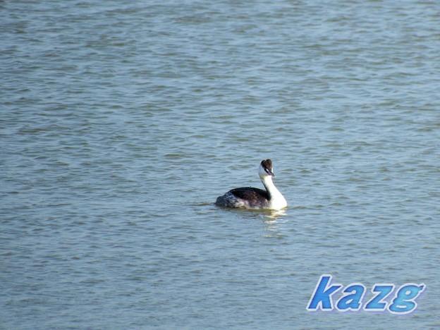 岡山・鴨川のカンムリカイツブリ