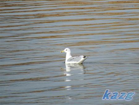 岡山県・鴨川のカモメ