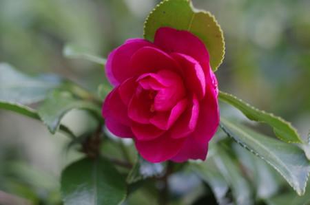 雨水の日の岡山後楽園の紅椿