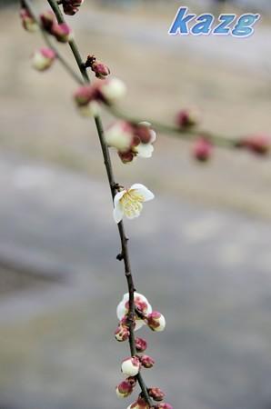 咲き初めた白梅の花(梅郷)