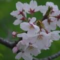 写真: 霧の朝の7分咲きの桜