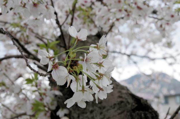 写真: 散り始めた桜