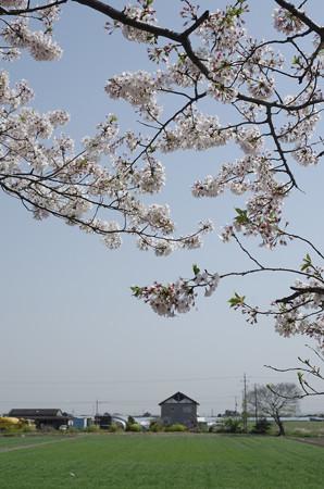 よく晴れた散歩道の桜