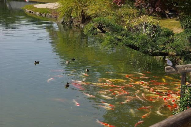 紅葉の岡山後楽園の池の鯉