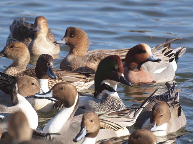 赤松池の鴨の群れとヨシガモ