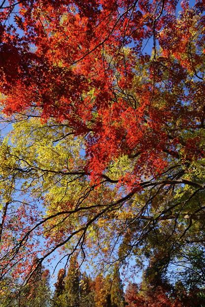 写真: 紅葉が降ってきた~