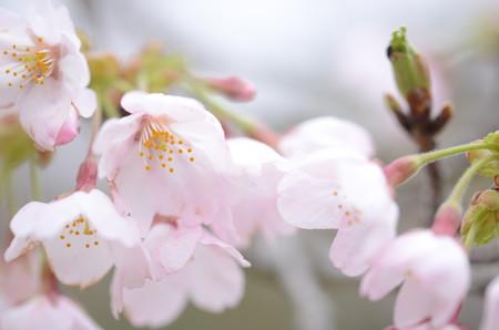 ほらーーーー!!!桜でょおおおお!!