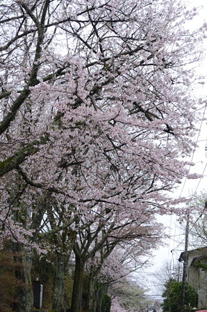 雨あがったぞ!桜撮影しまひょ!