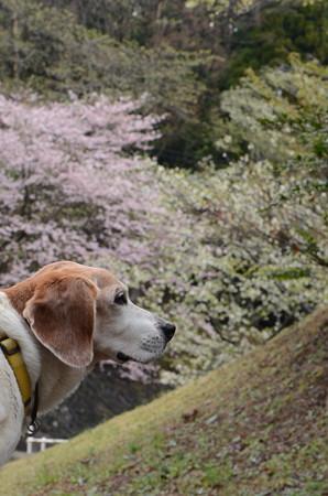 さーてまずはイケメンマリンと桜だよ!(相変わらずこっち向かないね~・苦笑)
