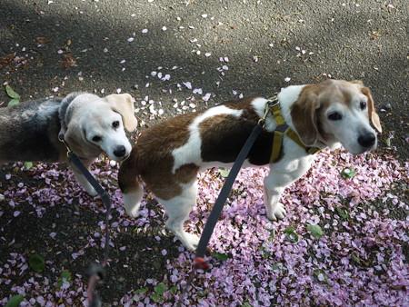 まだ桜絨毯があったね@ビーグルがいる南箱根の景色