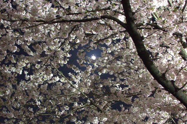 桜の向こうにお月様