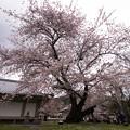 霊宝館前の桜