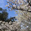 写真: 御室桜