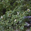 写真: 鹿王院の沙羅の花