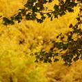 神宮外苑の秋3