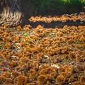 写真: 森のバフンウニ