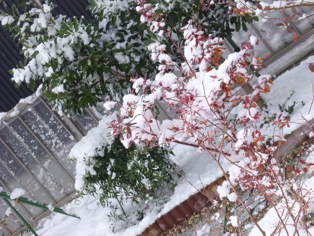 紅葉のブル-ベリ-に雪帽子
