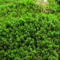写真: 白駒池の苔