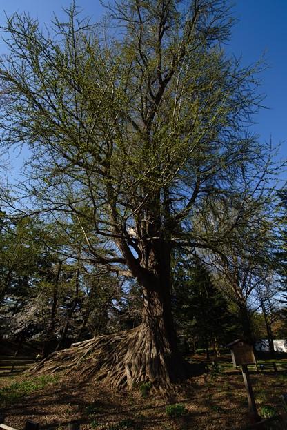 銀杏の古木