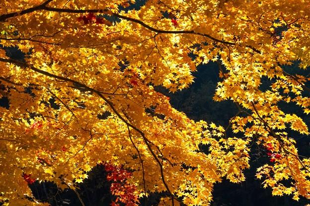 逆光に輝く紅葉